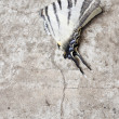 Blanching butterfly on gray asphalt - Stock Photo