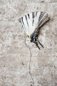 Blanching butterfly on gray asphalt — Stock Photo