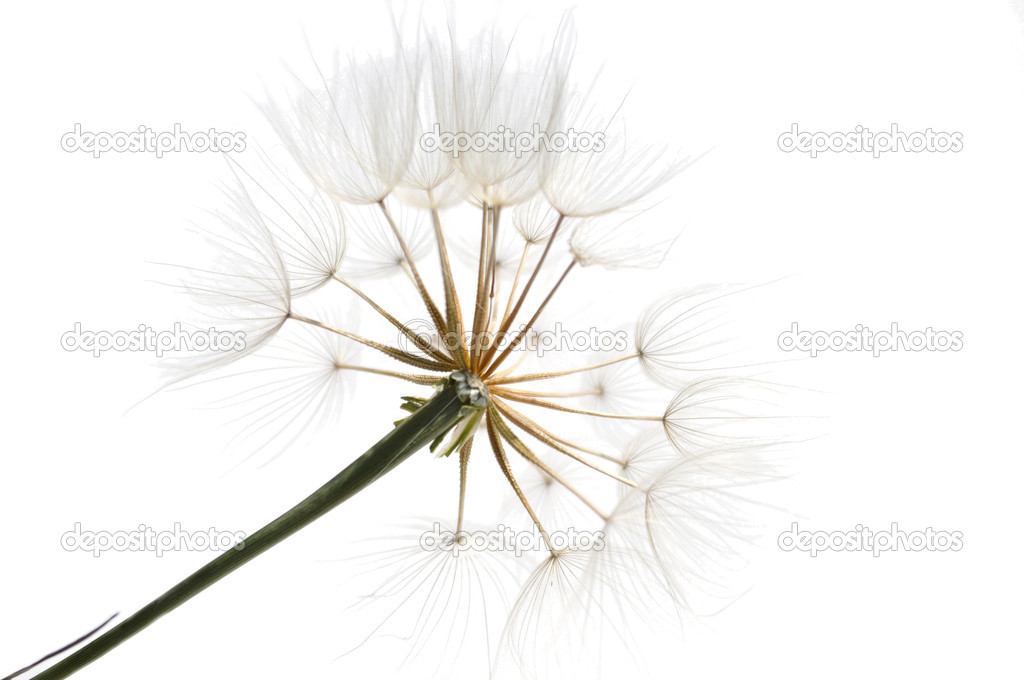 Several bits of fluff with seeds of the dandelion  Stock Photo #11859929