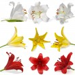 Set lily on white background isolated — Stock Photo