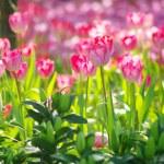 Nice Tulip garden — Stock Photo
