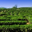 Tea tree farm — Stock Photo