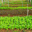 Vegetable farming - Stock Photo