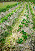 Strawberry plants farming — Stock Photo