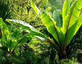 Banana tree for decorate garden — Stock Photo