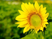 Sunflower in the farm — Stock fotografie