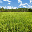 Stock Photo: Rice field and farm with blue sky