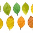 Stock Photo: Beech leaves during course of year