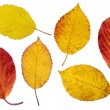 Stock Photo: Colorful cherry tree leaves