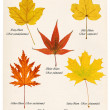 colorful autumn maple leaves — Stock Photo