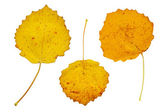 Three yellow autumn leaves — Stock Photo