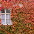 Colored leaves of the wild vine on house wall — Stock Photo