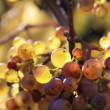 Riesling wine grapes — Stock Photo