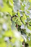 Green wine grapes — Stock Photo