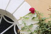 Climbing roses — Photo