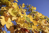 Hojas de color amarillo brillante en Viña — Foto de Stock