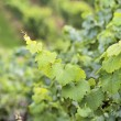 Green wine grapes — Stock Photo