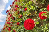 Roses on old wall — Stock Photo