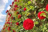 Růže na staré zdi — Stock fotografie