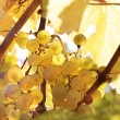 Stock Photo: Riesling wine grapes