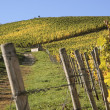 Vineyard in autumn — Stock Photo #11473808