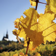 Bright yellow leaves in vineyard — Stock Photo