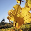 Stock Photo: Bright yellow leaves in vineyard