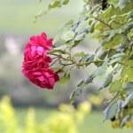 Climbing roses — Stock Photo #11473835
