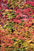 Colored leaves of the wild vine in autumn — Stock Photo