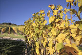 Vineyard in autumn — Stock Photo