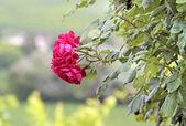 Sarmaşık gülleri — Stok fotoğraf
