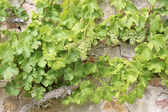 Green grape-vines — Stock Photo