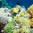 Tropical fishes swimming among corals — ストック写真