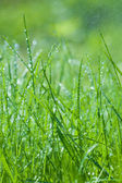 Spring green grass with dew drops — Stock Photo