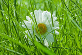 Chamomile close-up in the grass — Stock Photo