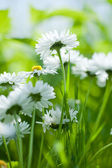 Chamomile closeup from bellow — Stock Photo