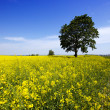 Tree in the rape field - Stock Photo