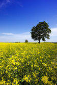 Tree in the rape field — Stock Photo