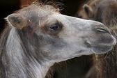 Camel headshot. — Stock Photo