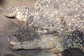 Crocodile. — Stock Photo