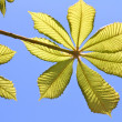 Fresh chestnut leaves — Stock Photo #11496487