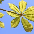Stock Photo: Fresh chestnut leaves