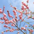 Peach blossoming — Stock Photo