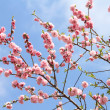 Stock Photo: Peach blossoming