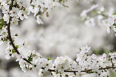 Spring blossoming background — Stock Photo