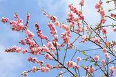 Pêssego florescendo — Foto Stock