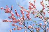 Peach blossoming — Stockfoto