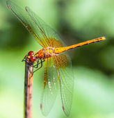 Dragonfly Sympetrum flaveolum — Stock fotografie