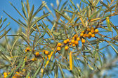 Branch of sea buckthorn — Stock Photo