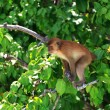 Brown monkey — Stockfoto